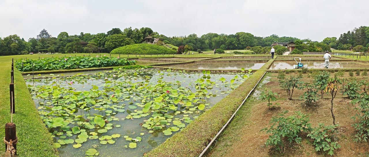 s-20150612 後楽園井田の大賀蓮の花と田植え準備のワイド風景 (1)
