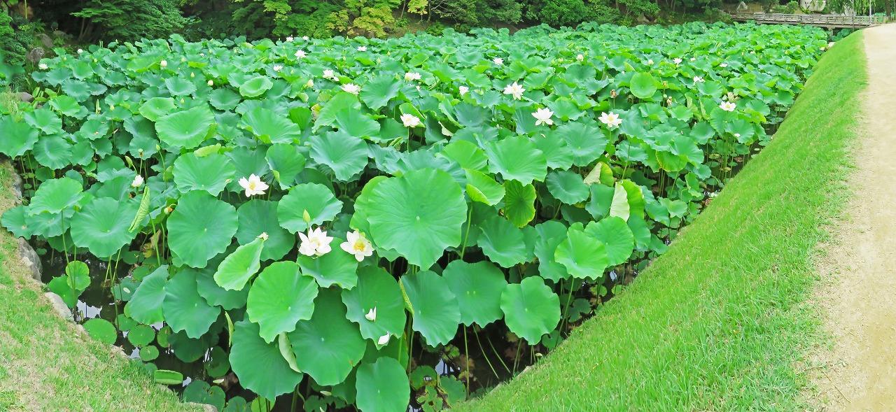 s-20150623 後楽園花葉の池の大名蓮の様子今日のワイド風景 (1)