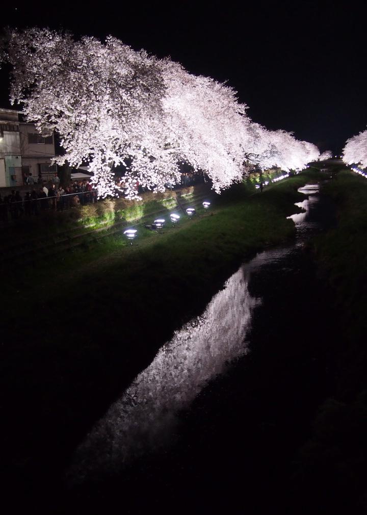 野川 桜 ライトアップ