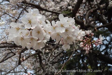 2015_3_30_sakuranohana11.png
