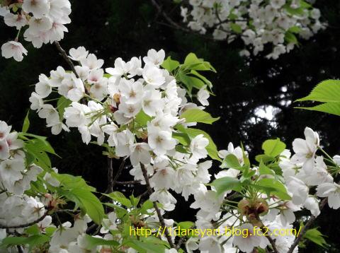 2015_4_4_yamazakura1.png