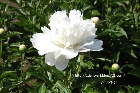 2015_5_12_syakuyaku1.png