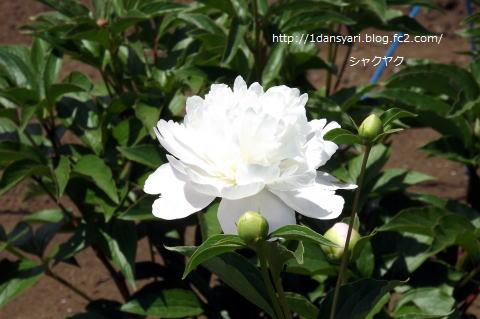 2015_5_17_syakuyaku1.png