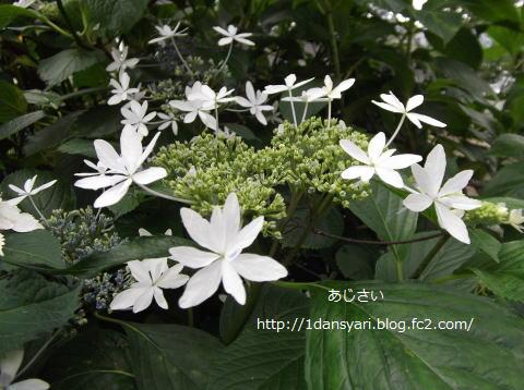 2015_6_04_ajisai1.png