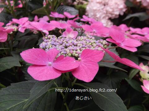 2015_6_05_ajisai1.png