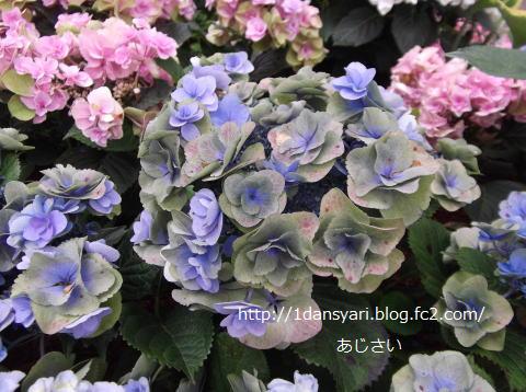 2015_6_11_ajisai1.png