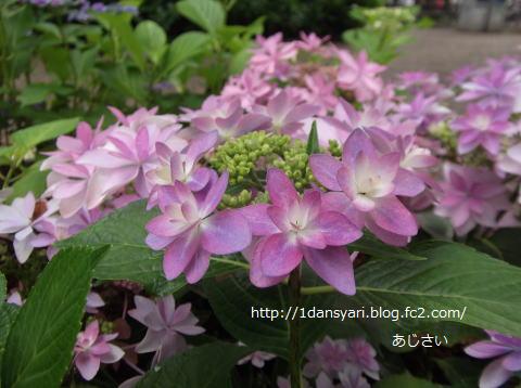 2015_6_15_ajisai1.png