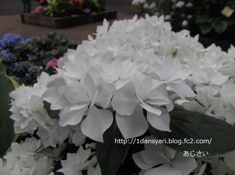 2015_6_17_ajisai1.png