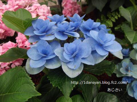 2015_6_20_ajisai2.png