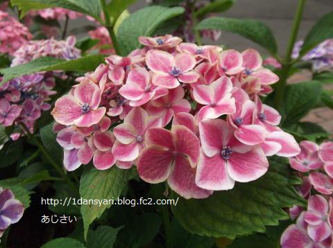 2015_6_21_ajisai1.png