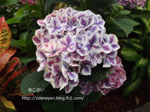 2015_6_22_ajisai1.png