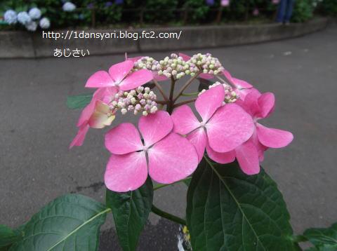 2015_6_24_ajisai1.png