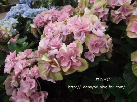 2015_6_24_ajisai2.png