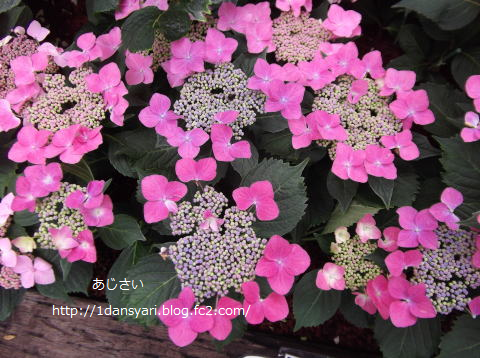 2015_6_25_ajisai2.png