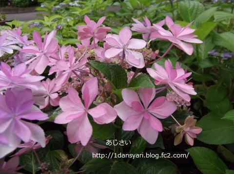 2015_6_26_ajisai1.png