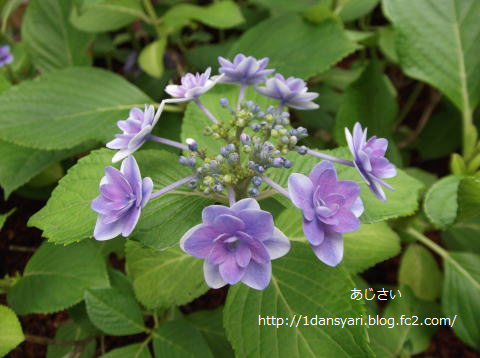 2015_6_27_ajisai1.png