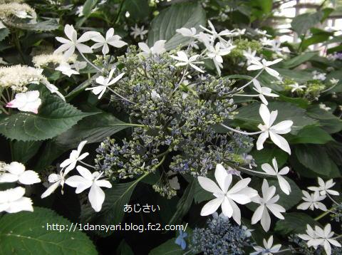 2015_6_28_ajisai1.png
