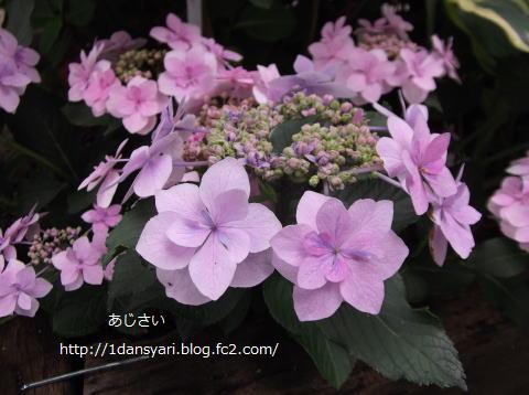 2015_6_29_ajisai1.png