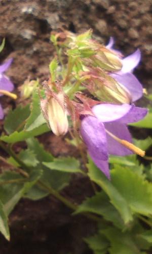 枝咲きキキョウ