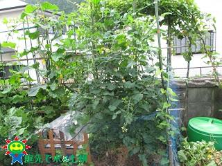 6・16ミニトマト「千果」①