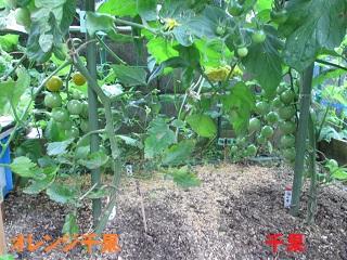 6・16ミニトマト「千果」②