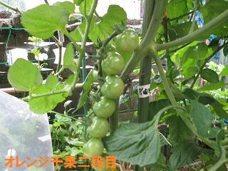 6・16ミニトマト「千果」③