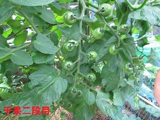 6・16ミニトマト「千果」④
