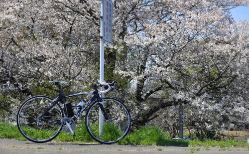 自転車 さくら 土手