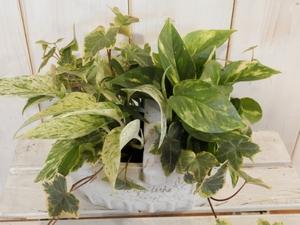 観葉寄せ植え ベラボン 陶器 拡大