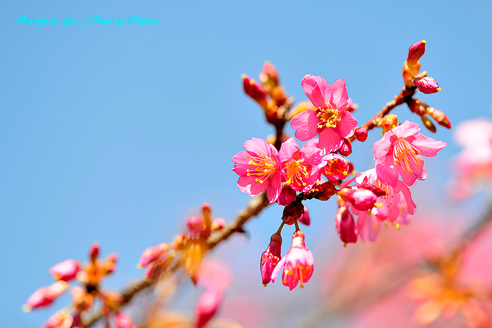 マメザクラ(早春桜)1