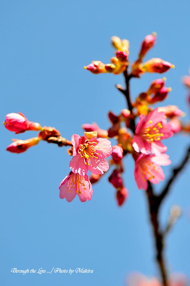 マメザクラ(早春桜)4