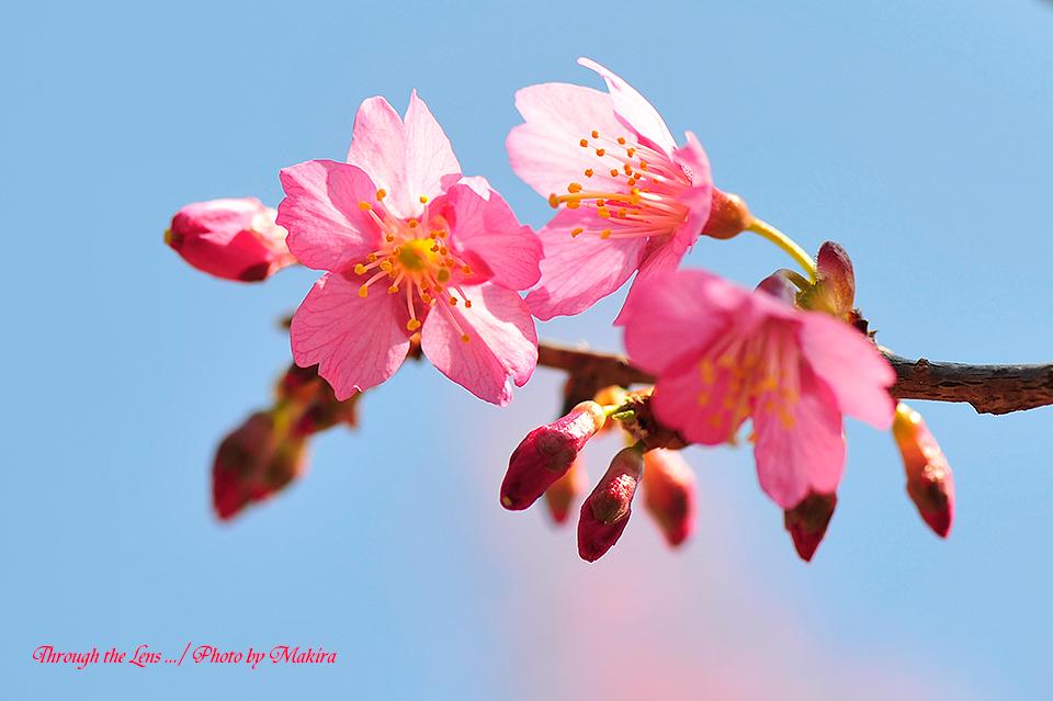 マメザクラ(早春桜)5