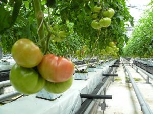 トマト収穫!