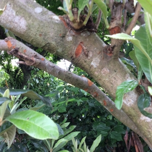 琵琶の木対策
