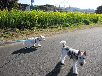 菜の花の散歩道 001