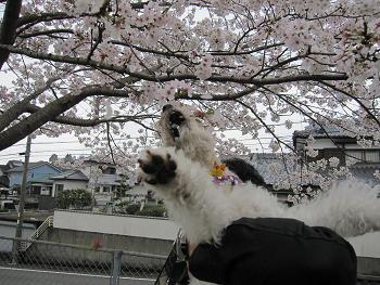 お花見 006