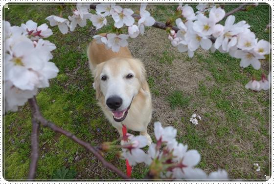 2015,4,4桜6