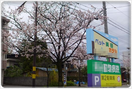 2015,4,4桜3