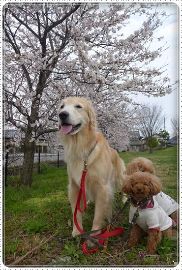 2015,4,4桜2