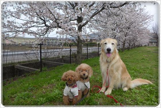 2015,4,4桜1