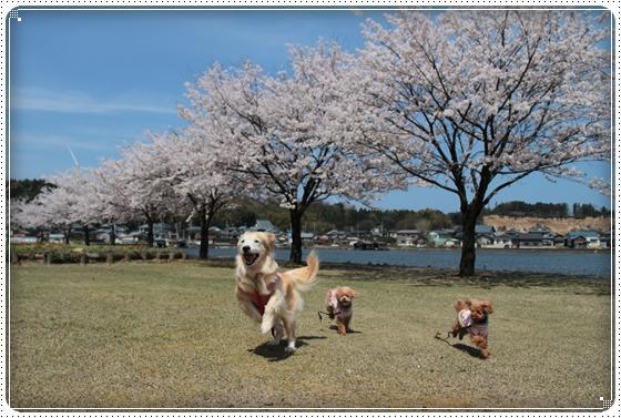 2015,4,9桜6