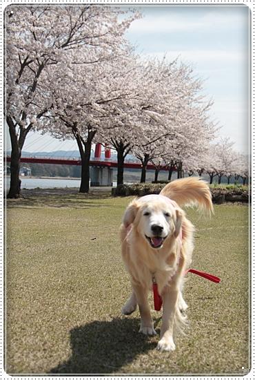 2015,4,9桜4