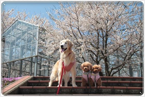2015,4,9桜5