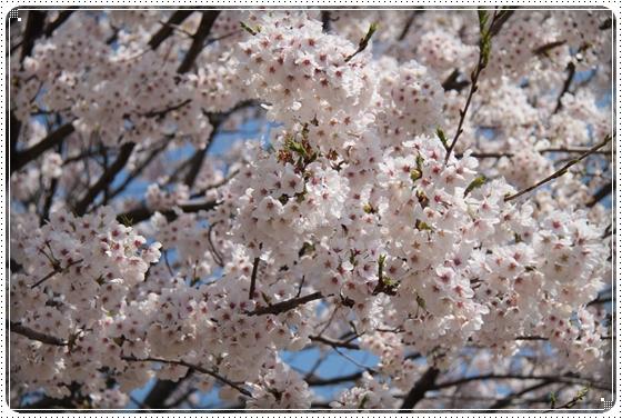 2015,4,9桜2