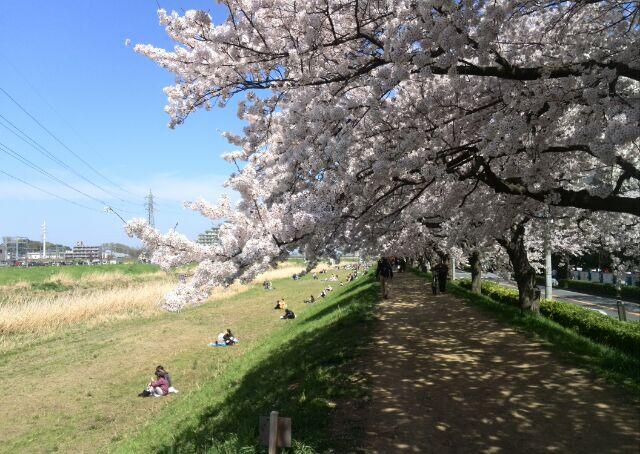 柳瀬川ニュータウン桜