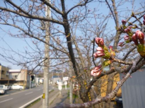海の駅前桜