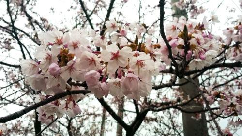 桜41802