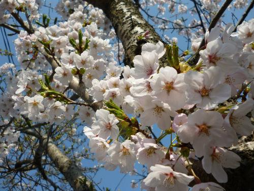 0422桜