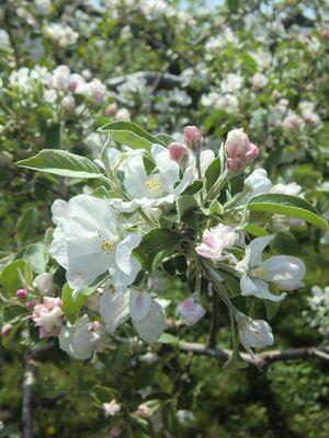 山田野りんごの花002