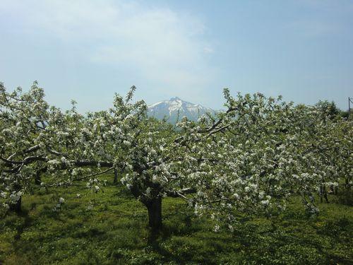 山田野りんごの花001
